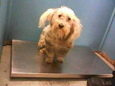 ✽ RESCUE TRANSFER ✽ ~ Animal ID #A1320847 ‒ I am a Male, White Toy Poodle mix. The shelter thinks I am about 3 years old. I have been at the shelter since May 27, 2015. City of Houston, BARC Animal Shelter & Adoptions Telephone ‒ (713) 229-7300 2700 Evella Street Houston, TX Fax: (713) 238-2189 https://www.facebook.com/OPCA.Shelter.Network.Alliance/photos/pb.481296865284684.-2207520000.1433118805./827060700708297/?type=3&theater