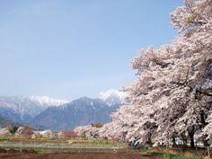 Jindai-sakura