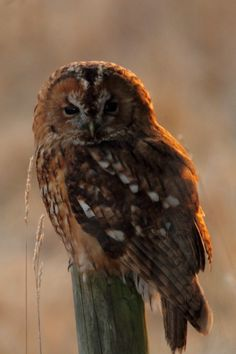 Tawny Backlit - I came across this Tawny Owl sat on a fencepost this evening in some lovely light, managed to get close enough to get a few shots