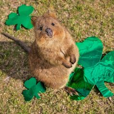 Happy St Quokkas Day! Share the happiness of green.  #happyquokkamonday #stpatricksday Also an update on the quokka photo book I'll be putting the best book names up for you to vote on. Watch this space