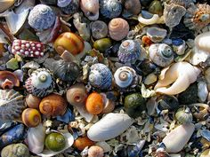 In Truffles by the Sea, a book I wrote awhile back, seashells mysteriously - and regularly - show up on Gaby's dock. (Secret: My first title for that story was A Curious Thing About Seashells).