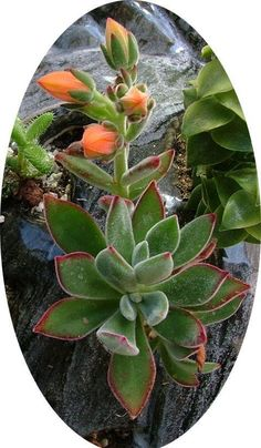 View picture of Echeveria (Echeveria harmsii) at Dave's Garden. All pictures are contributed by our community.
