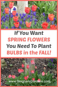 Learn all about Spring Bulbs to Plant In the Fall, including tips for keeping squirrels from digging up bulbs, when to plant spring flowering bulbs, how to plant spring flowering bulbs, plus other great tips for growing spring flowers from bulbs. Tulips Garden, Garden Bulbs, Shade Garden, Fruit Garden, Planting Tulip Bulbs, Planting Flowers, How To Plant Tulips, Flower Gardening, Organic Gardening