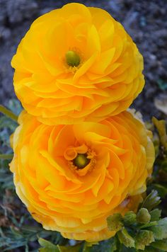 Untitled - Yellow Ranunculus