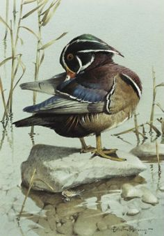 Edwin Penny (British, 1930).     Wood or Carolina Duck. Watercolor and gouache on paper, 36,8 x 25,4 cm.