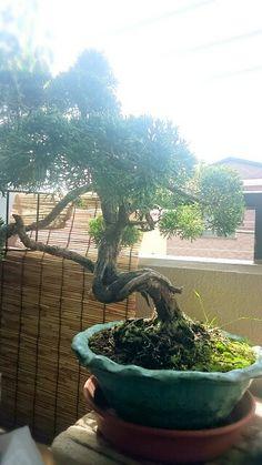 My bonnie bonsai