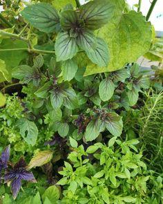 @katharinaruehrt posted to Instagram: Eine meiner absoluten Lieblingspflanzen ist der Basilikum. Es gibt eine ungeheure Vielfalt. Fixstarter bei mir sind z.B. auch immer ein paar violette Sorten.  . Aus Basilikum mache ich am liebsten Sirup. Das funktioniert genauso wie mit Holunderblüten. Durch den dunklen Basilikum in der Mischung wird der Sirup herrlich pink. Außerdem gibt er eine herrliche frische in sommerlichem Deo. Und schmecken tut er sowieso. . Bis der Basilikum wieder bei uns…