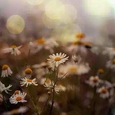 Blurred daisies