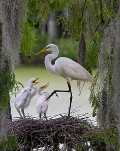 Egret with Chicks © Ron Wright