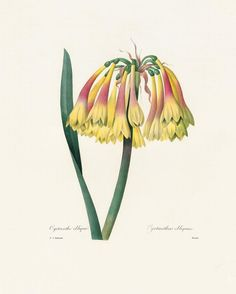 Spring is here or almost... Cyrtanthus obliquus from #REDOUTE master of botanical illustration. #TASCHEN #TASCHENpublishers #TASCHENbooks