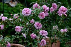 madame-ernest-calvat-rose-in-container-garden