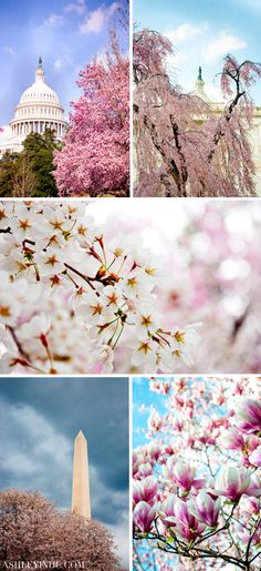 Cherry Blossoms around Washington DC