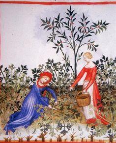 Tacuinum Sanitatis, ca. 1400 Celery