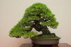 Black pine bonsai on display at Gomangoku
