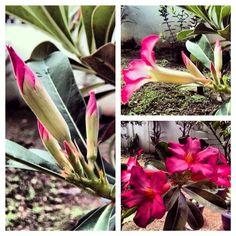 Blooming (Adenium Obesum/Desert Rose) ❤