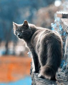 Perfect gray Cat you look like my Frawley. Cute Cats And Kittens, I Love Cats, Cool Cats, Animals And Pets, Funny Animals, Cute Animals, Chat Maine Coon, Grey Cats, Warrior Cats