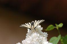 Francis Mauco / Papillon sur lilas