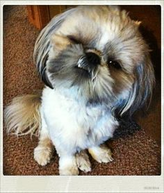 Adorable Shih Tzu!!  :)