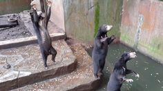 Une vidéo dévoilant des ours décharnés dans un zoo indonésien suscite l'indignation  :'( sniff :'( sniff BOURREAU :'( ASSASSIN :'( SAUVAGE :'( CONNARD :'( POURRI :'( DEBILE :'( sniff :'( sniff  AMORE