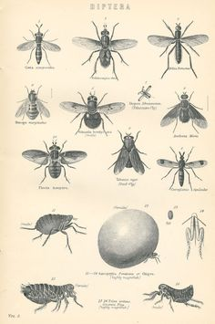 antique black&white print from 1880s Victorian Era encycloledia, titld 'Diptera'   black&white drawing flies and insects. .... Print by PeonyandThistlePaper