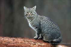 European Wildcat (Felis silvestris)  koenfrantzen.com
