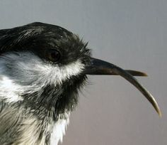 'Severe abnormalities' found in Fukushima birds Japan Nuclear, Fukushima, Search And Rescue, Animals Images, Macabre, Animal Rescue, Bird, Mythology, Scary