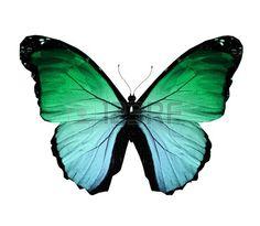 papillon: Morpho papillon vert, isolé sur blanc Banque d