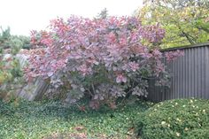 Full size picture of Smoke Tree 'Grace' (<i>Cotinus</i>)