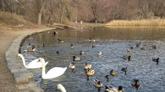 Petition · Stop New York State's Swan Killing Plan - Sign A.8790A! · Change.org
