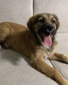 """265 Beğenme, 12 Yorum - Instagram'da Kedi Şeysi (@kedilikmuessesesi): """"Bir iki kez şirin oluyosun dedik diye sürekli kafa büküyor  #köpek #yavruköpek #dog #doglovers"""""""