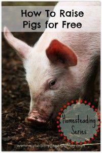 Raising Pigs for Free: How to Scavenge Food For Your Pigs. Homesteading Series As pets. Raising Farm Animals, Raising Chickens, Pigs Raising, Pig Farming, Backyard Farming, Farming Ideas, Backyard Chickens, Poultry Farming, Cattle Farming