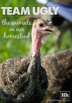Team Ugly: The Animals on Our Homestead (For the record: I don't think turkeys are ugly! Off Grid Homestead, Homestead Farm, E Farm, Farm Life, Raising Farm Animals, The Barnyard, Ostriches, Urban Homesteading, Hobby Farms