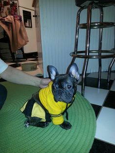 This is my little Iowa French Bulldog, her name is Lucee!!! Just love her so much!