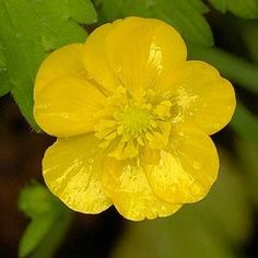 wildflower: buttercup.