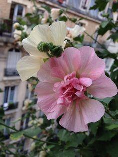 Alcathéa bicolore (Malvacées) http://www.pariscotejardin.fr/2014/08/alcathea-bicolore/
