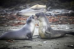Southern Elephant Seal pups - Macquarie Island