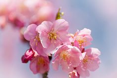 Kawazu Cherry Blossoms -- They are out and they are beautiful!! // By David LaSpina of Japandave.com