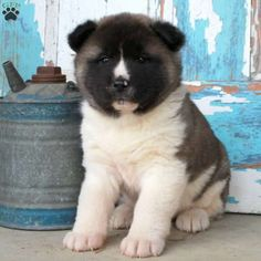 Arizona - Akita Puppy For Sale in Pennsylvania Akita Puppies For Sale, Cute Puppies For Sale, Tiny Puppies, Cute Dogs, Puppies Tips, Cute Little Animals, Cute Funny Animals, Extreme Pets, Cockapoo Puppies