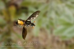 Nicrophorus carolinus (carrion beetle) holding its elytra back while in flight. Family: Coleoptera