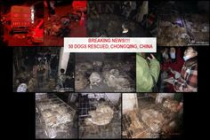 BREAKING NEWS!!! 50 D0GS RESCUED IN CHONGQING, CHINA