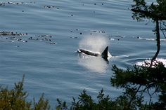 """Orca blowing by Rhonda Clements  A member of """"J"""" pod off of San Juan Island in Washington State. One of the few places in the world where you can sit and watch Orcas only feet away, from shore."""