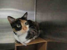 LIL BIT is an adoptable Domestic Short Hair Cat in Dallas, TX.  ...