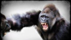 Silverback Gorillas Fighting by Marilyn Taylor ARPS