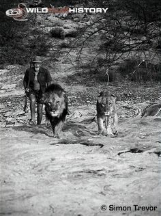 George Adamson with lions Boy and Christian. Boy (Left) and Christian (Right) became best friends.