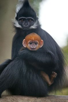 Infant Francoise Langur, with Mother at the San Francisco Zoo, SF, USA