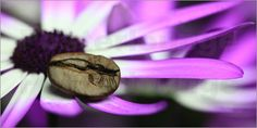 Kaffeebohne auf Aschenblume