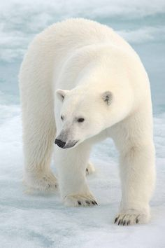 Polar Bear - Great Photography !