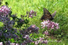 http://jbiggslittlepieces.blogspot.com/2012/04/black-swallowtail-butterfly.html