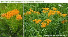 Milkweed - Restoring The Landscape With Native Plants