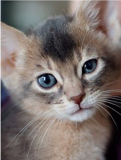 Blue Abyssinian kitten